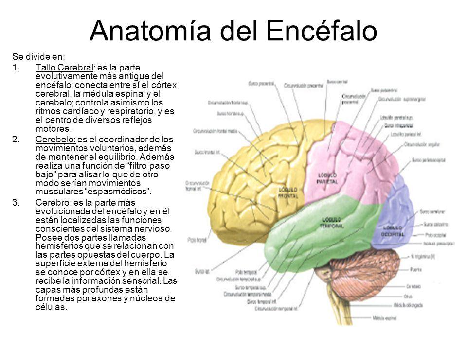 Perfecto La Anatomía Y La Fisiología Del Cerebro Pdf Cresta ...