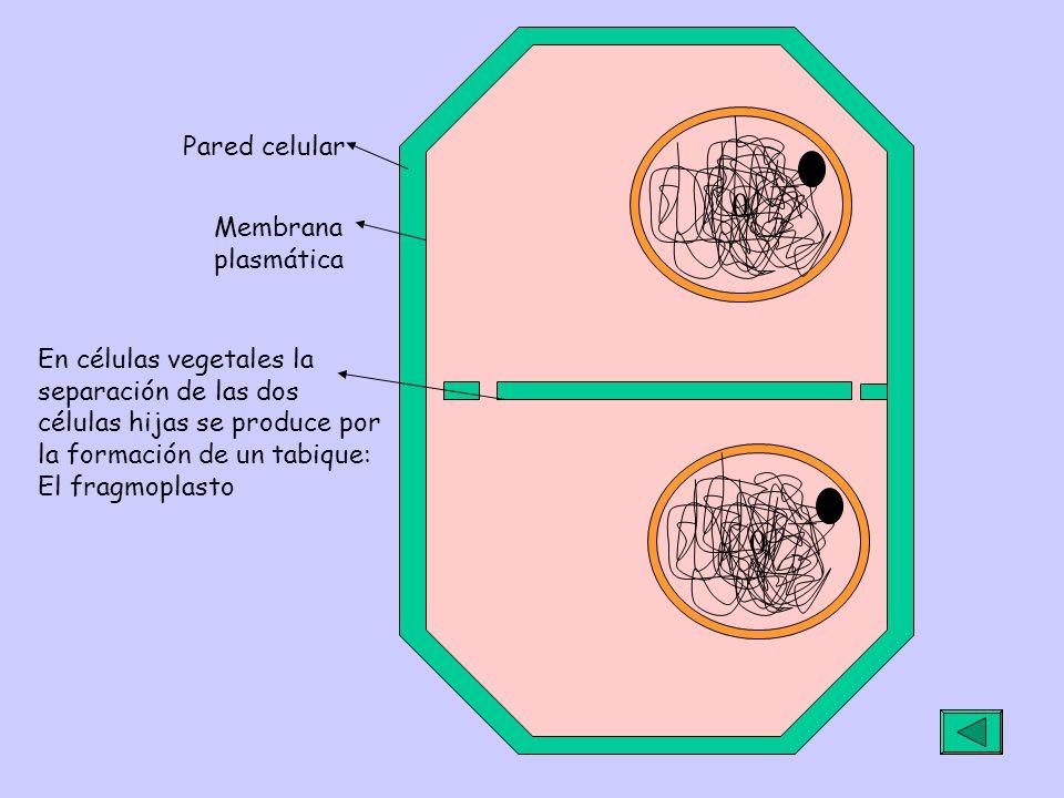 00 En células vegetales la separación de las dos células hijas se produce por la formación de un tabique: El fragmoplasto Pared celular Membrana plasmática