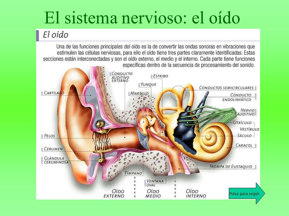 Resultado de imagen de sistema nervioso del oído