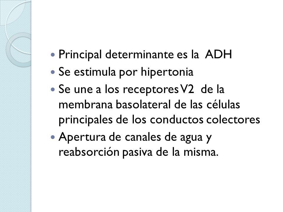 Principal determinante es la ADH Se estimula por hipertonia Se une a los receptores V2 de la membrana basolateral de las células principales de los co