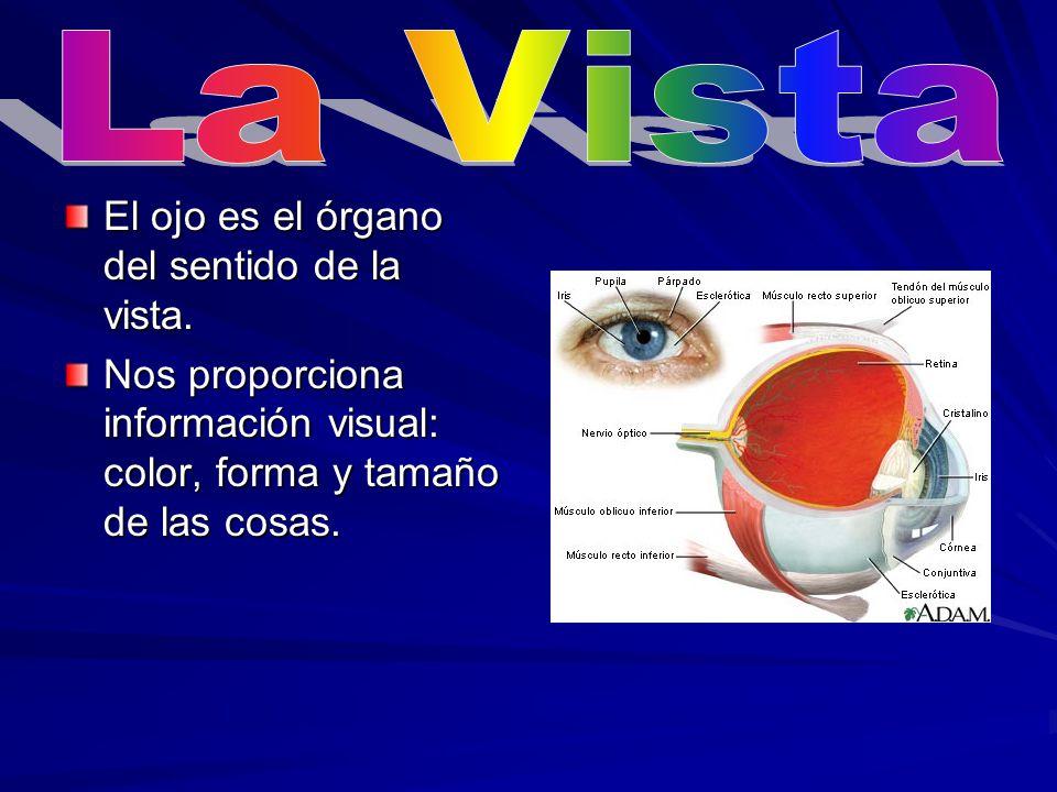 El ojo tiene varias partes: El globo ocular, la córnea, el iris, la pupila, el cristalino, la retina y el nervio óptico.