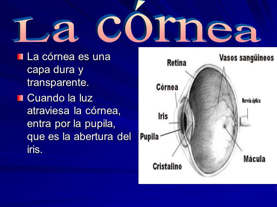 La córnea es una capa dura y transparente. Cuando la luz atraviesa la córnea, entra por la pupila, que es la abertura del iris.