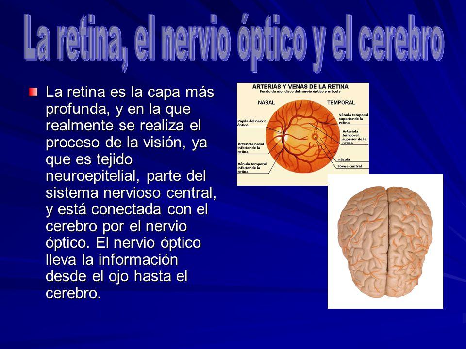 La retina es la capa más profunda, y en la que realmente se realiza el proceso de la visión, ya que es tejido neuroepitelial, parte del sistema nervio