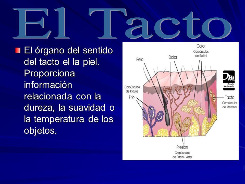 Las capas de la piel son: Las capas de la piel son: La exterior o epidermis: Tiene función protectora.