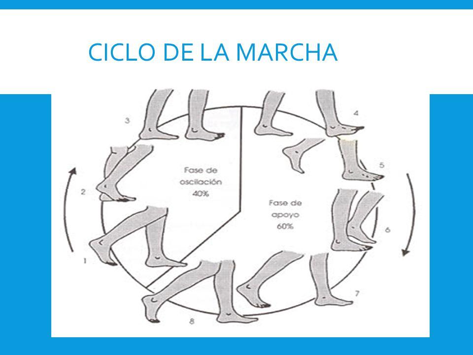 Componentes del ciclo de la marcha:  Fase de Apoyo: cuando la pierna está en contacto con el suelo.
