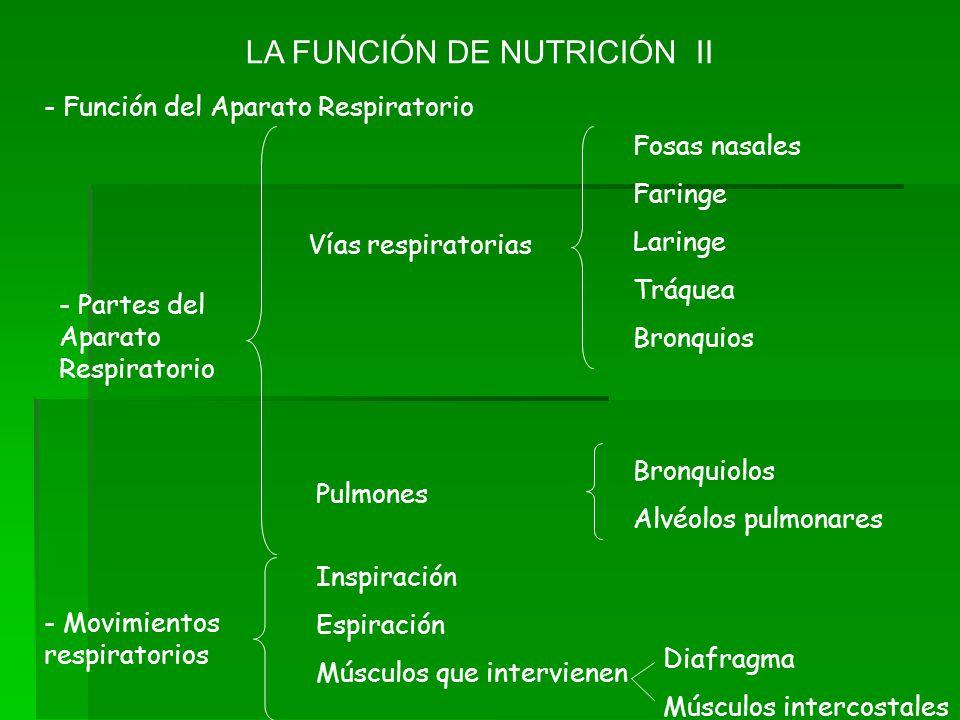 LA FUNCIÓN DE NUTRICIÓN II - Función del Aparato Respiratorio Fosas nasales Faringe Laringe Tráquea Bronquios Bronquiolos Alvéolos pulmonares Vías res