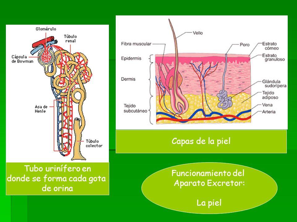 Tubo urinífero en donde se forma cada gota de orina Capas de la piel Funcionamiento del Aparato Excretor: La piel