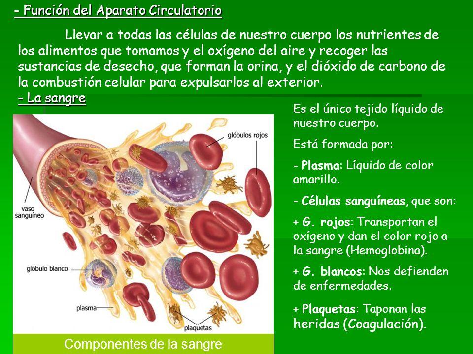 - Función del Aparato Circulatorio Llevar a todas las células de nuestro cuerpo los nutrientes de los alimentos que tomamos y el oxígeno del aire y re