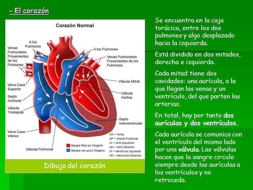 - El corazón Se encuentra en la caja torácica, entre los dos pulmones y algo desplazado hacia la izquierda. Está dividido en dos mitades, derecha e iz