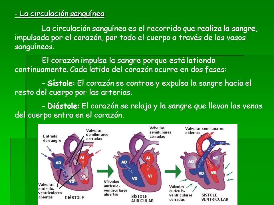 - La circulación sanguínea La circulación sanguínea es el recorrido que realiza la sangre, impulsada por el corazón, por todo el cuerpo a través de lo