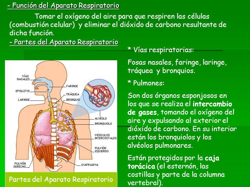 - Función del Aparato Respiratorio Tomar el oxígeno del aire para que respiren las células (combustión celular) y eliminar el dióxido de carbono resul