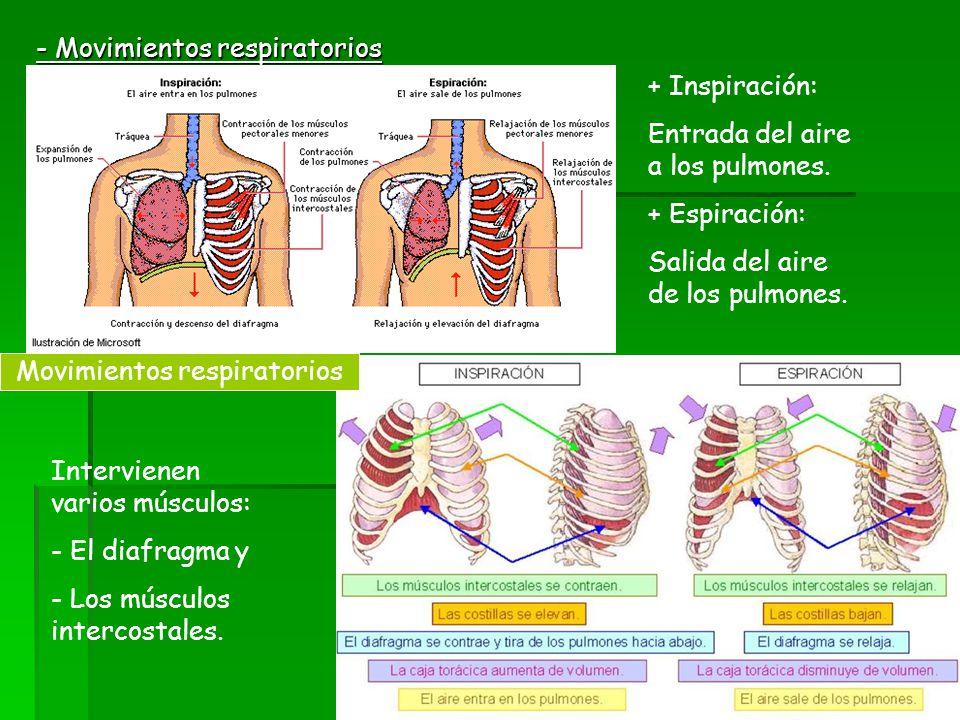 - Movimientos respiratorios + Inspiración: Entrada del aire a los pulmones. + Espiración: Salida del aire de los pulmones. Intervienen varios músculos