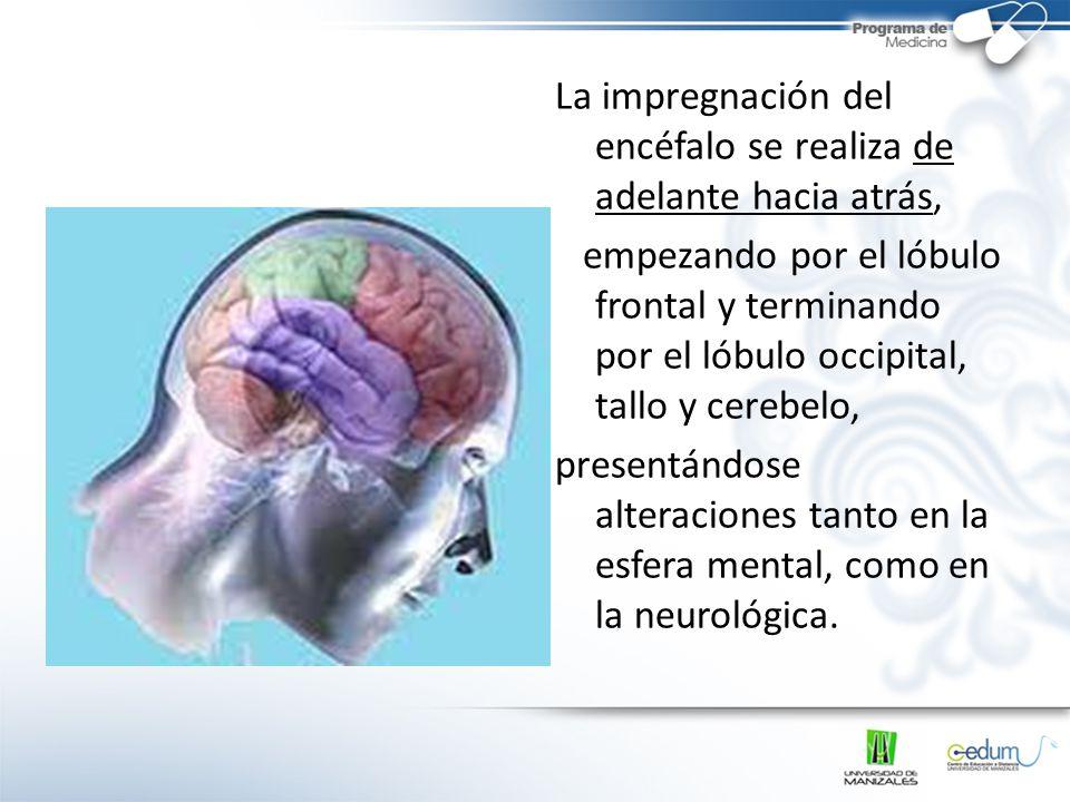 La impregnación del encéfalo se realiza de adelante hacia atrás, empezando por el lóbulo frontal y terminando por el lóbulo occipital, tallo y cerebel