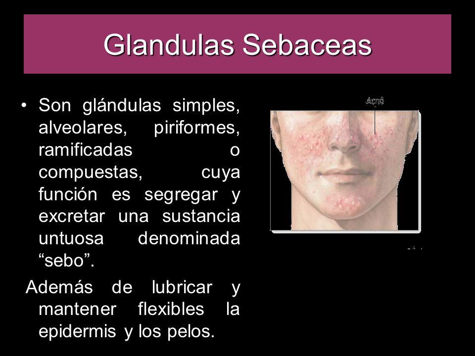 Son glándulas simples, alveolares, piriformes, ramificadas o compuestas, cuya función es segregar y excretar una sustancia untuosa denominada sebo .