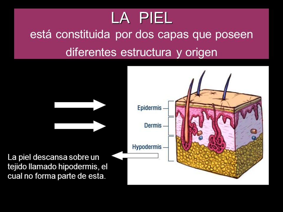 LA PIEL LA PIEL está constituida por dos capas que poseen diferentes estructura y origen La piel descansa sobre un tejido llamado hipodermis, el cual no forma parte de esta.
