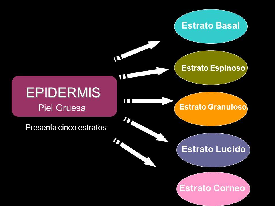 EPIDERMIS Piel Gruesa Presenta cinco estratos Estrato Basal Estrato Espinoso Estrato Granuloso Estrato Lucido Estrato Corneo