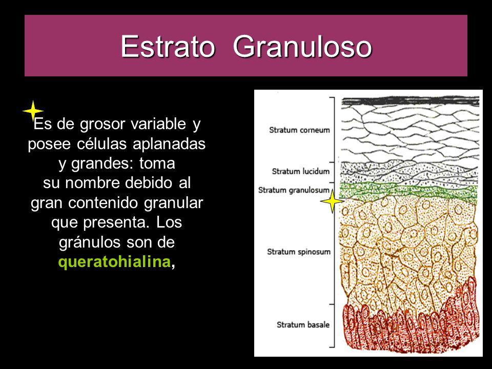 Estrato Granuloso Es de grosor variable y posee células aplanadas y grandes: toma su nombre debido al gran contenido granular que presenta.