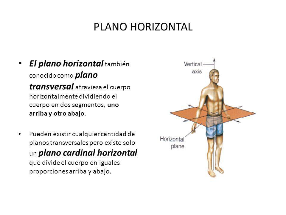 PLANO HORIZONTAL El plano horizontal también conocido como plano transversal atraviesa el cuerpo horizontalmente dividiendo el cuerpo en dos segmentos