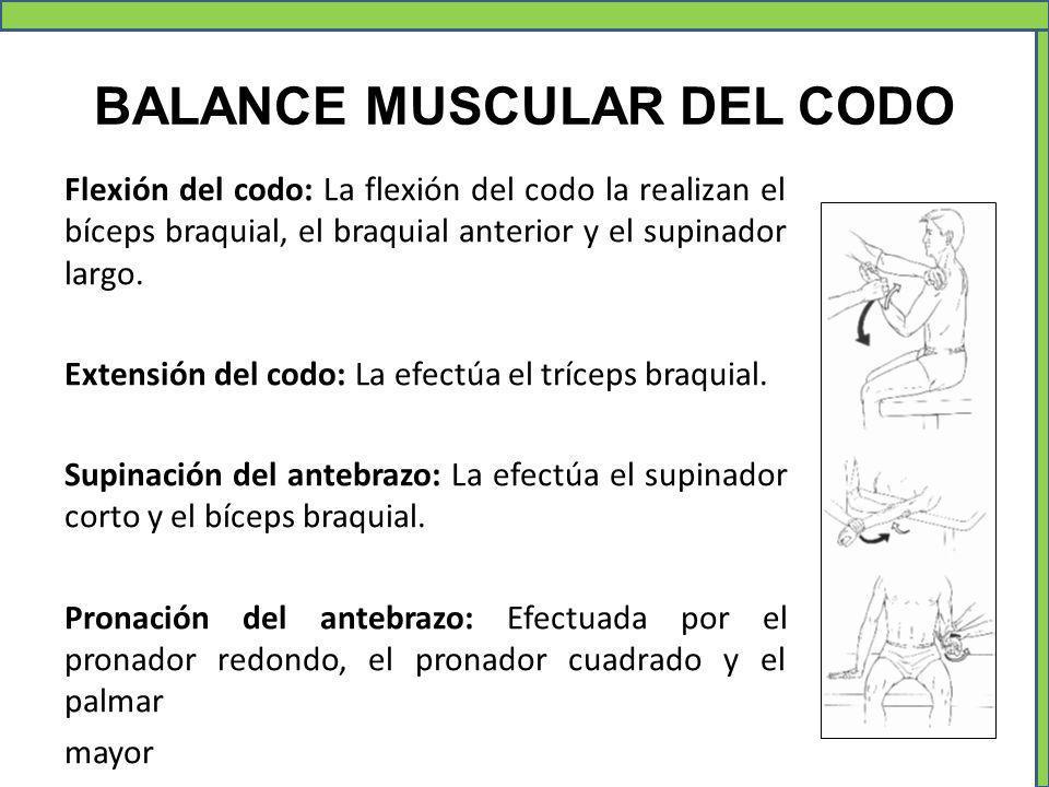 BALANCE MUSCULAR DEL CODO Flexión del codo: La flexión del codo la realizan el bíceps braquial, el braquial anterior y el supinador largo. Extensión d