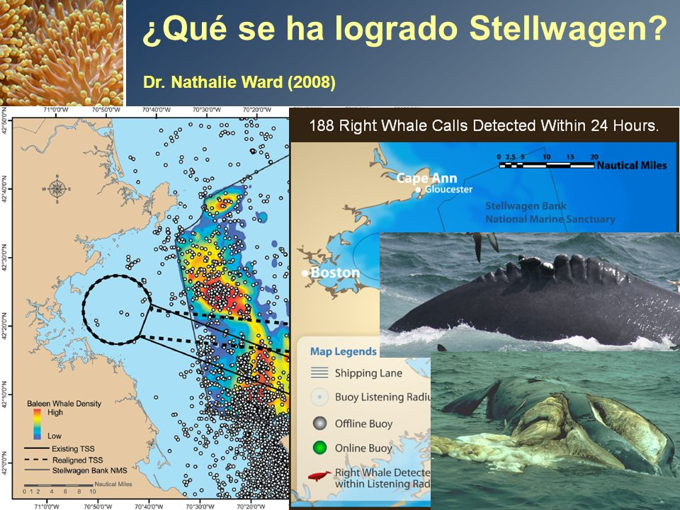 Risk Reduction up to: 58% for Right Whales 81% for all Baleen Whales 12 ¿Qué se ha logrado Stellwagen.