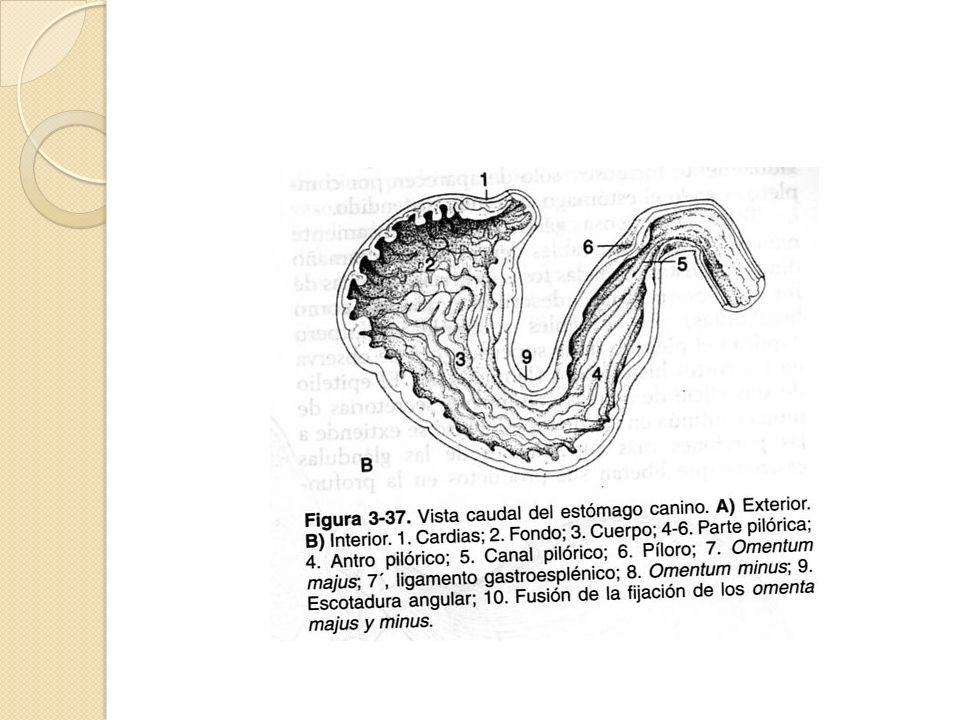 Cavidad abdominal del perro (animal en decúbito dorsal) 1. Hígado 2 ...