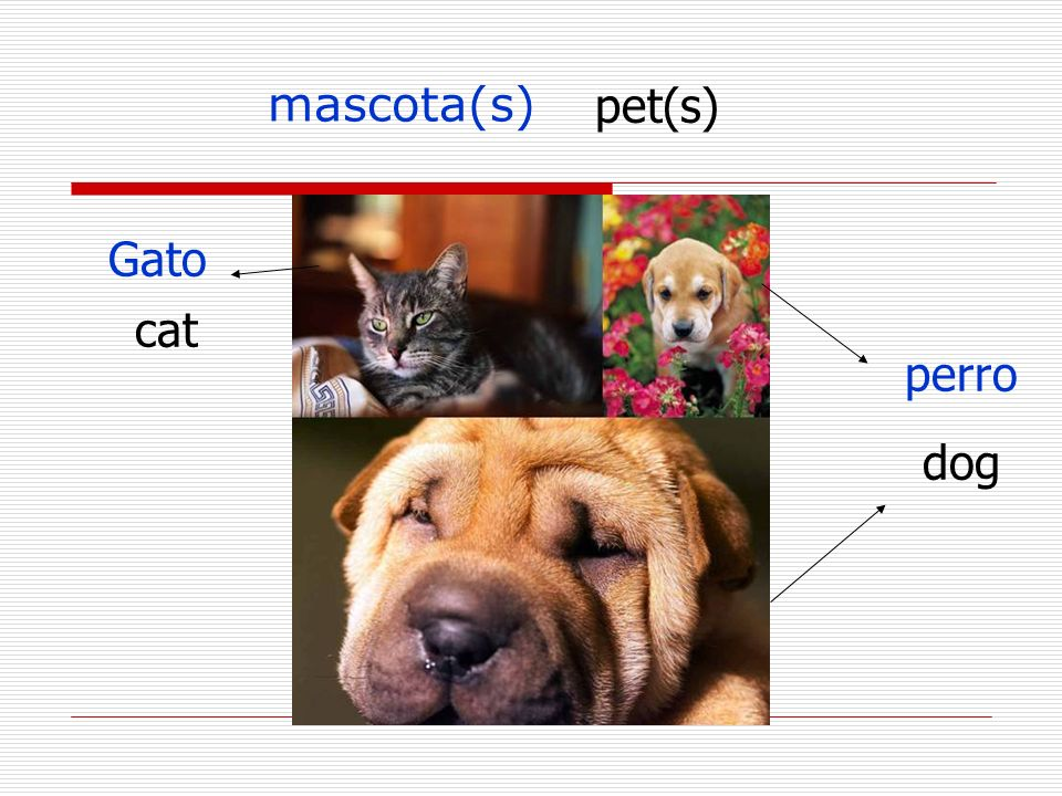 mascota(s) pet(s) Gato cat perro dog