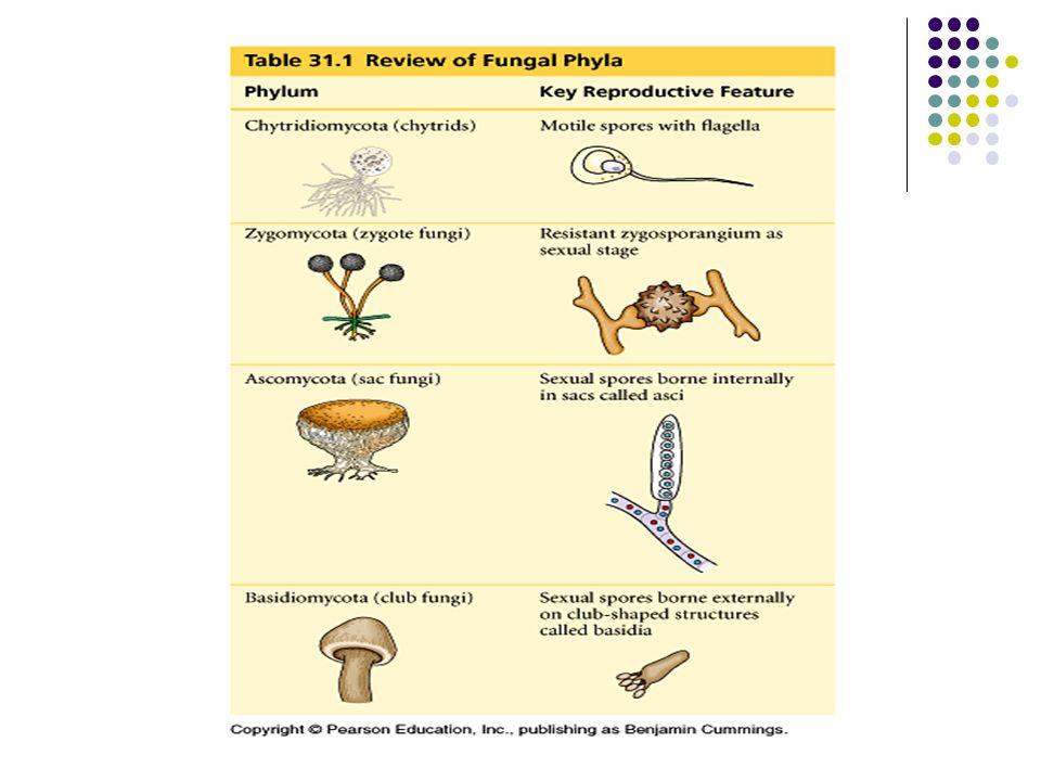 Clasificacion hongos deuteromycetes asexual reproduction