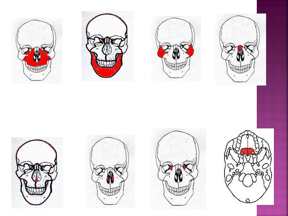 Huesos de la cara. - ppt video online descargar
