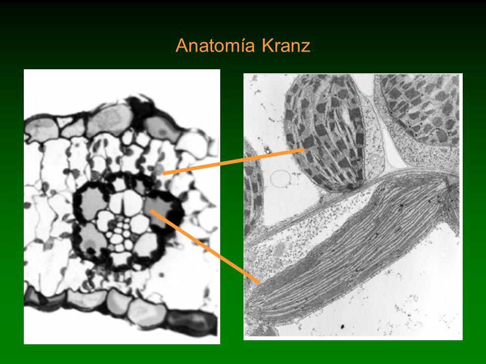Evidencia de fotosíntesis C 4 en ausencia de anatomía Kranz en ...