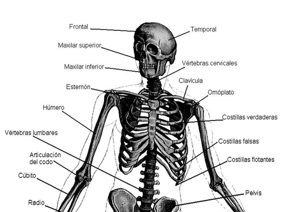 Láminas del Cuerpo Humano - ppt descargar