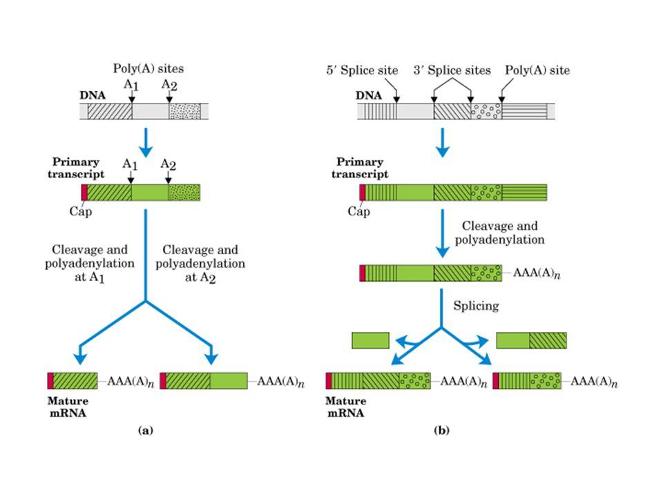 La secuencia de aminoácidos de la proteína no siempre refleja - ppt ...