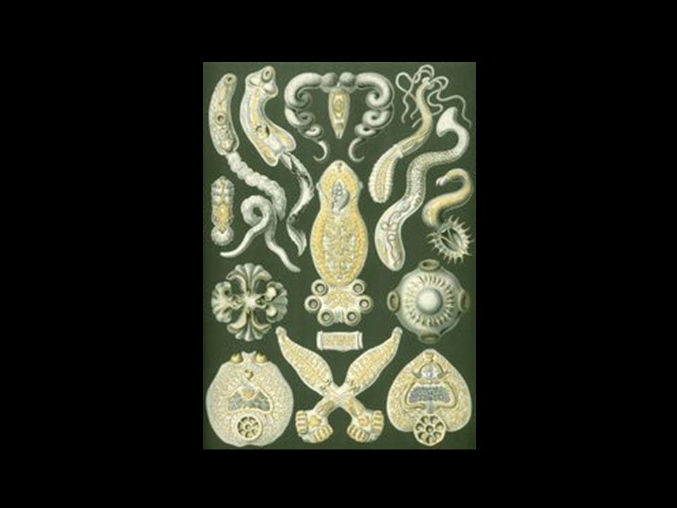 Los Platyhelminthes (Platelmintos) o gusanos planos, son un filo de ...