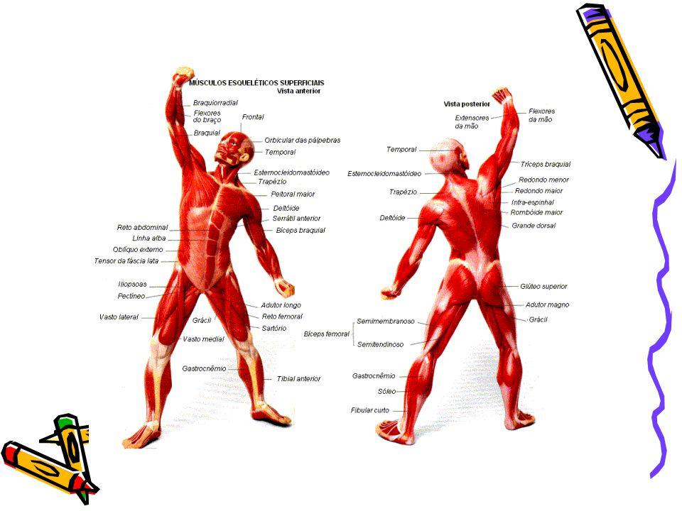 Sistema locomotor: sistema óseo y sistema muscular - ppt descargar