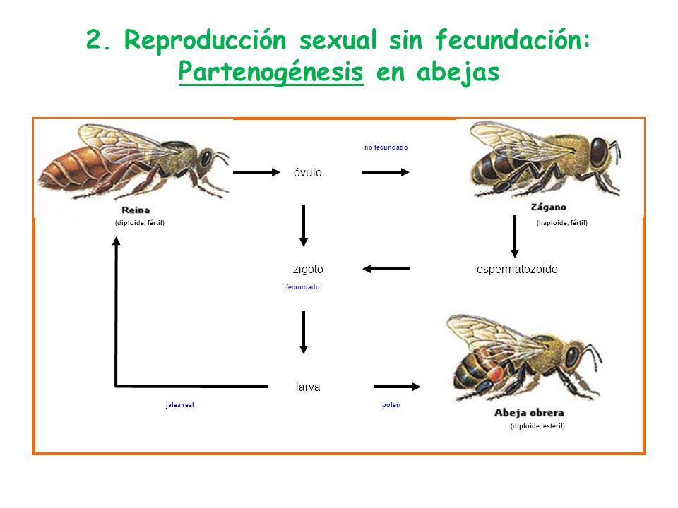 Reproduccion asexual partenogenesis abejas