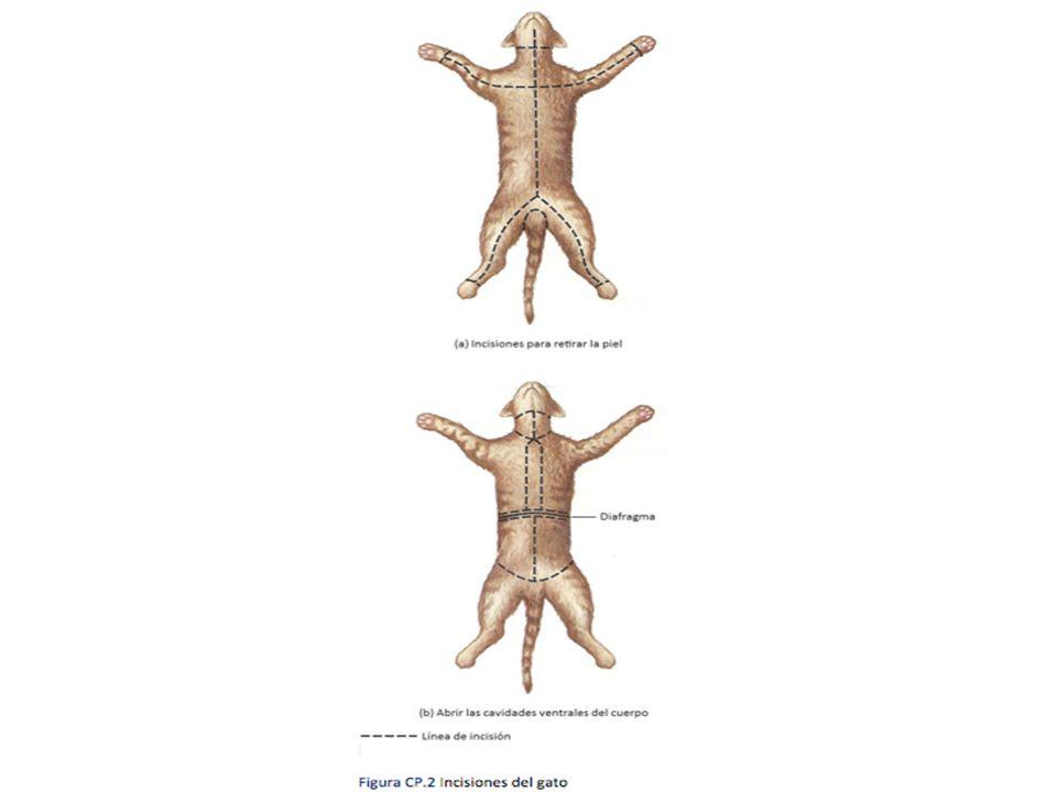 Anatomía externa del Gato - ppt descargar
