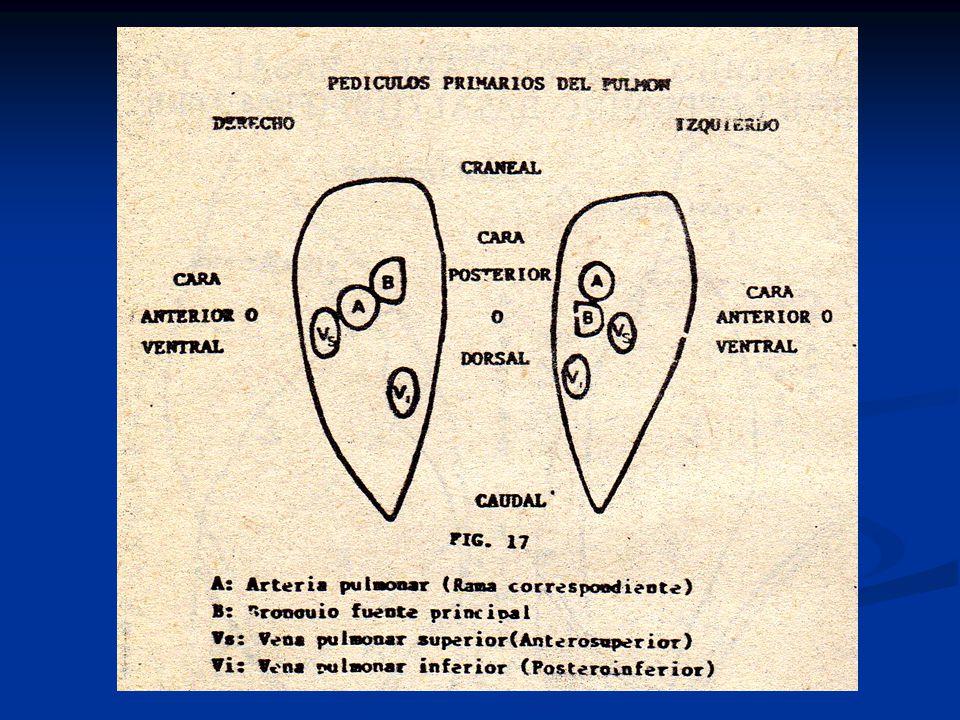 Segmentación bronco pulmonar según Jackson y Huber - ppt video ...