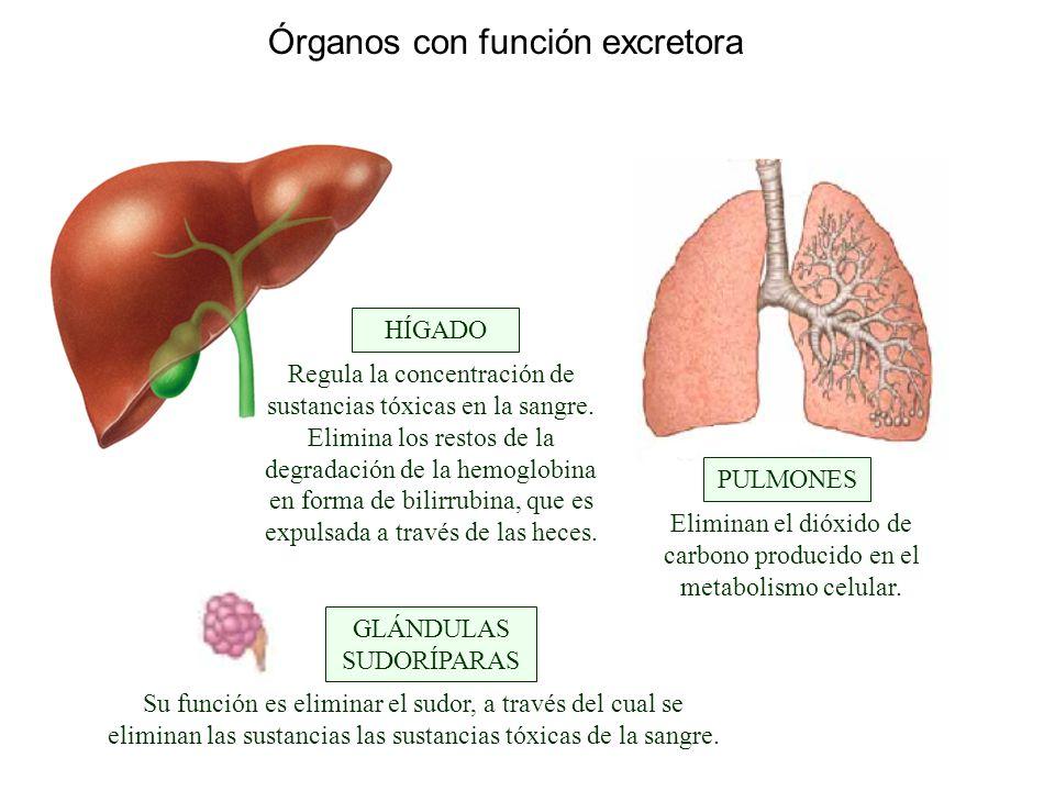 Órganos con función excretora GLÁNDULAS SUDORÍPARAS HÍGADO PULMONES ...