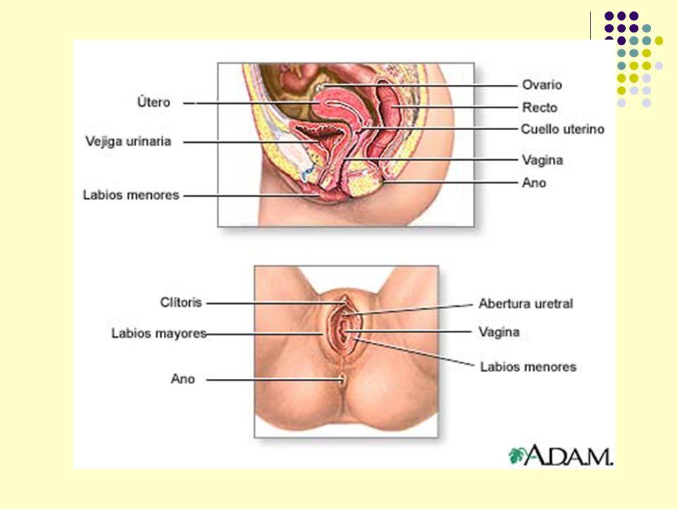 Anatomía de Aparato Reproductor Femenino - ppt video online descargar