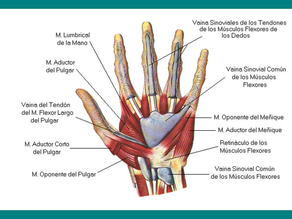 Excelente Los Tendones Del Pulgar Anatomía Inspiración - Imágenes de ...