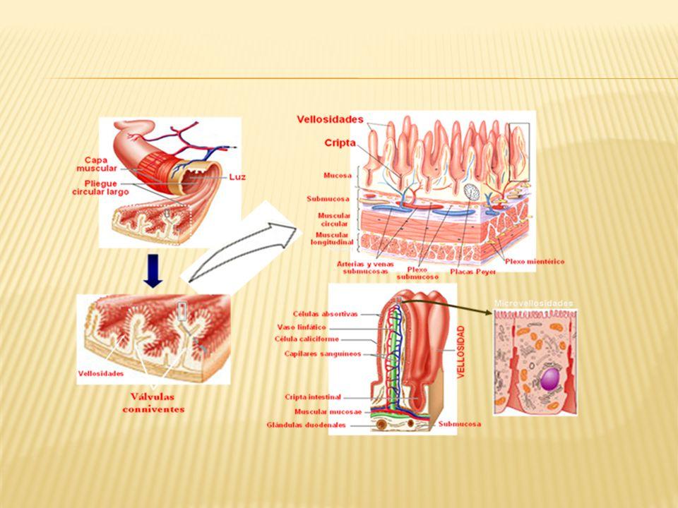 Anatomía y fisiologia. Intestino delgado. - ppt video online descargar