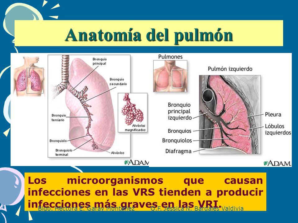 Anatomía del pulmón Los microorganismos que causan infecciones en ...