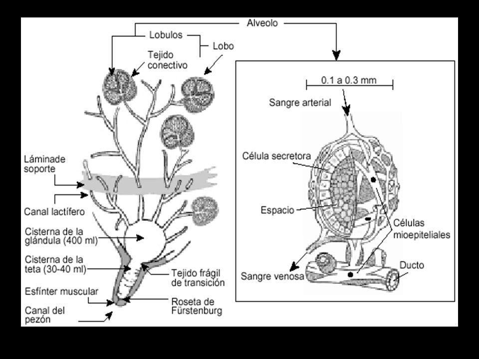 Secreción de la leche y anatomía y fisiología de la glándula mamaria ...