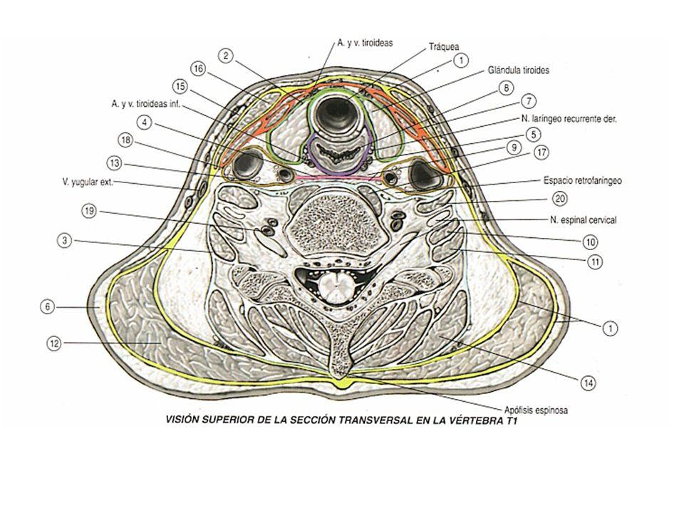 Topografía Básica de Cuello - ppt descargar