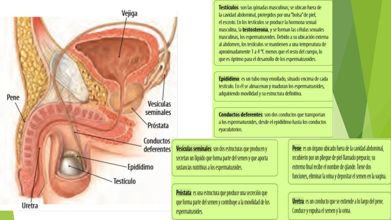 Órganos sexuales femenino y masculino - ppt descargar