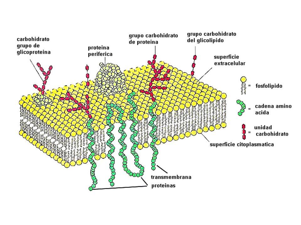 Membrana Celular Modelo Mosaico Fluido Ppt Descargar