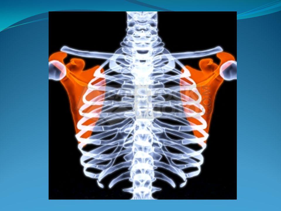 La Jaula Toraxica Es una estructura osteomuscular, compuesta por las ...