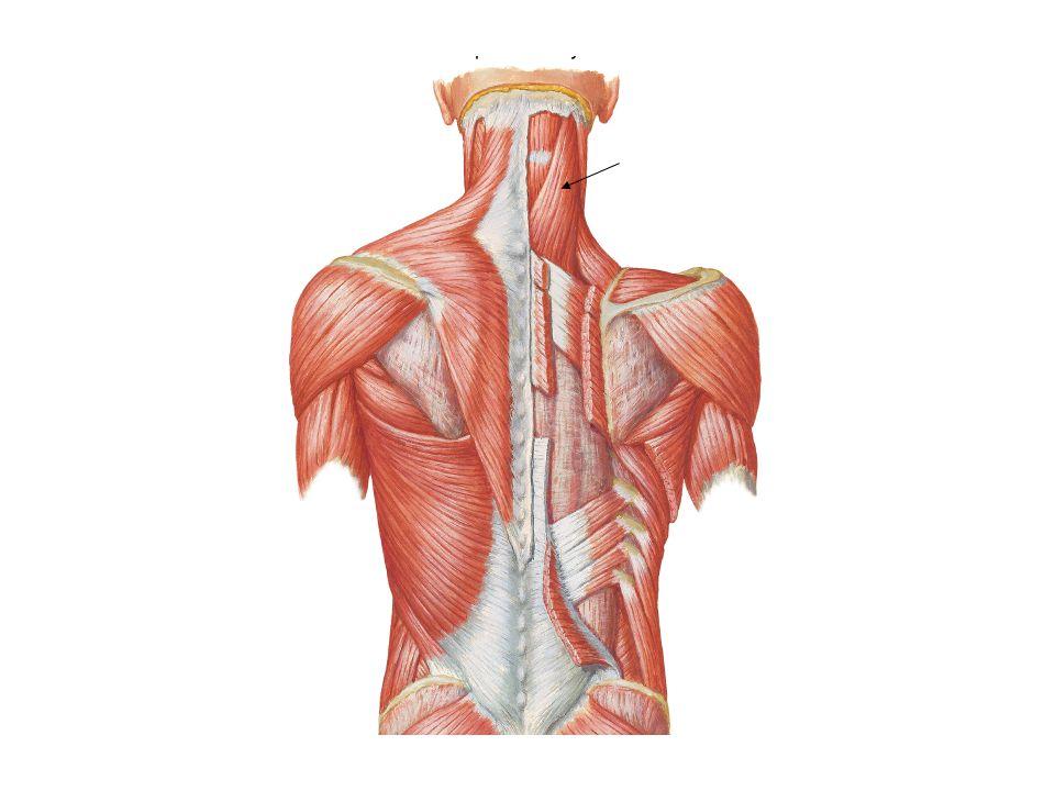 Músculos de la Expresión Facial. Cuello - ppt video online descargar