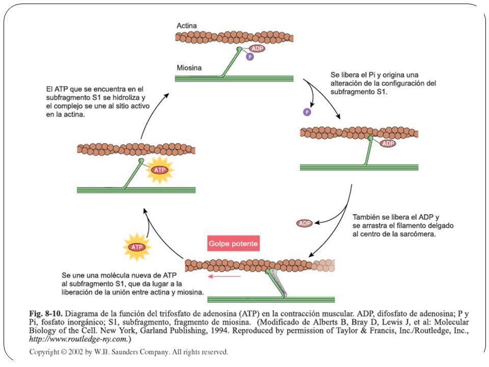 Histología del Sistema Muscular - ppt descargar