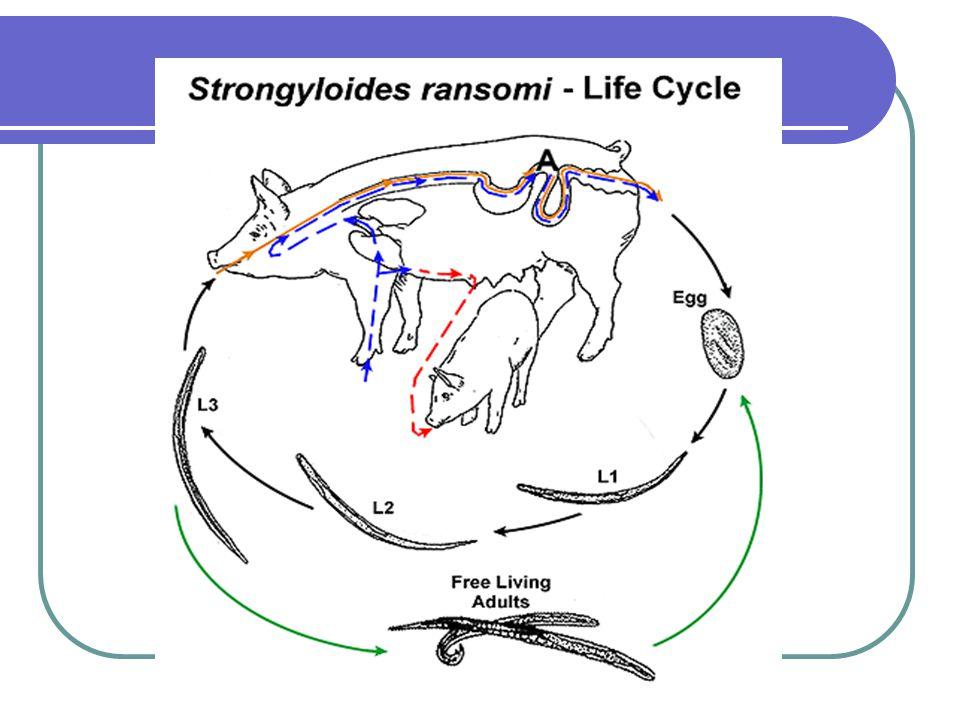 strongyloides westeri ciclo biologico