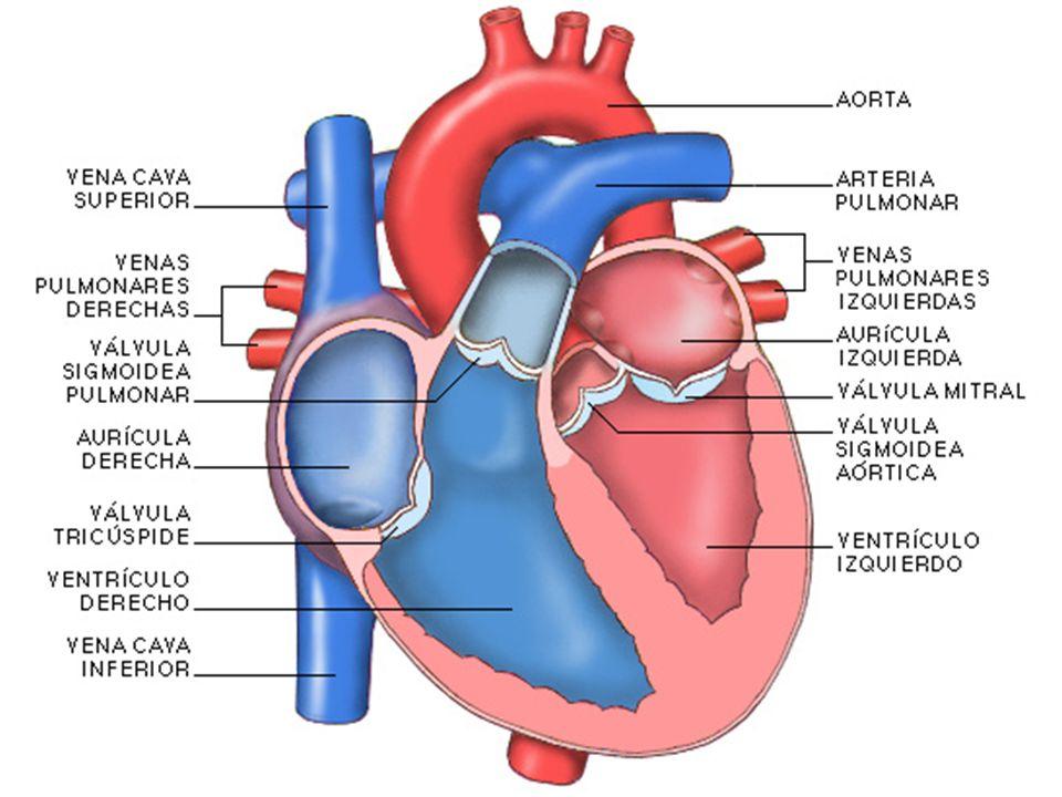 Sistema Circulatorio. Formado por: Corazón Vasos sanguíneos ...